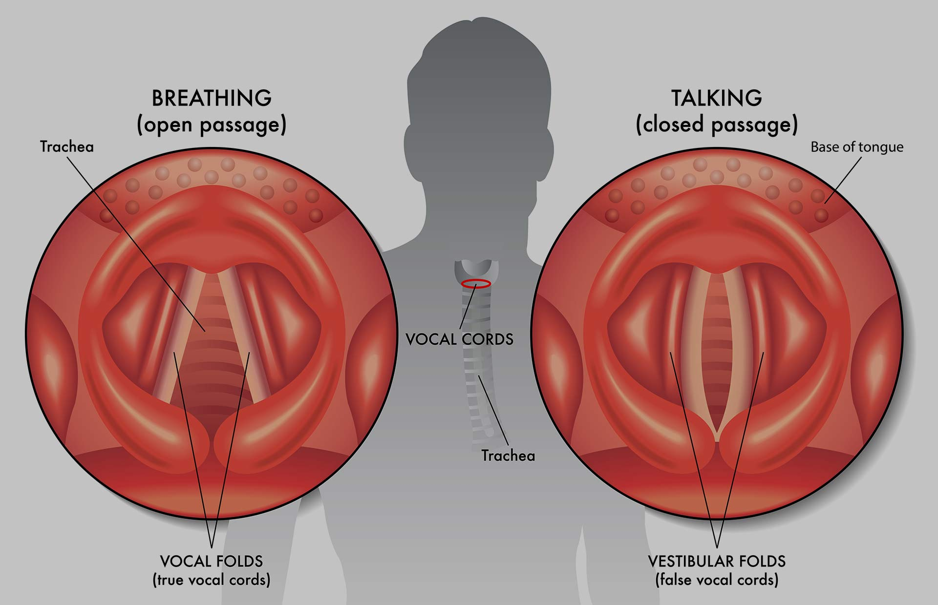 Vocal cords